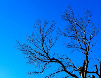 lion's head tree