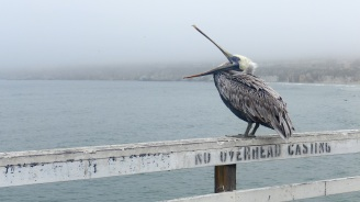 07-pismo-beach-pelican