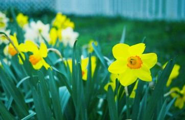 07 daffodil ledroit park washington dc pentax k1000