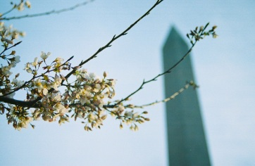 11 cherry blossom:washington monument pentax k1000