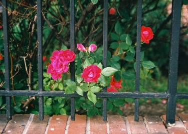 01 washington dc pentax k1000 roses