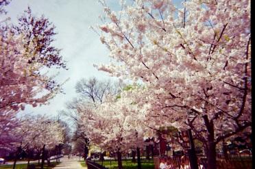 05 washington dc cherry blossoms