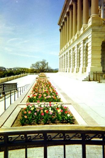 10 washington dc capitol + tulips
