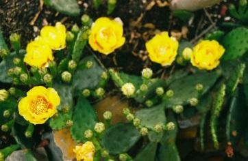 12 washington dc pentax k1000 cactus