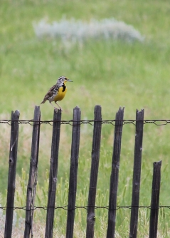 07 walsenburg colorado meadowlark yellow bird