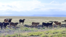 34 new mexico cattle